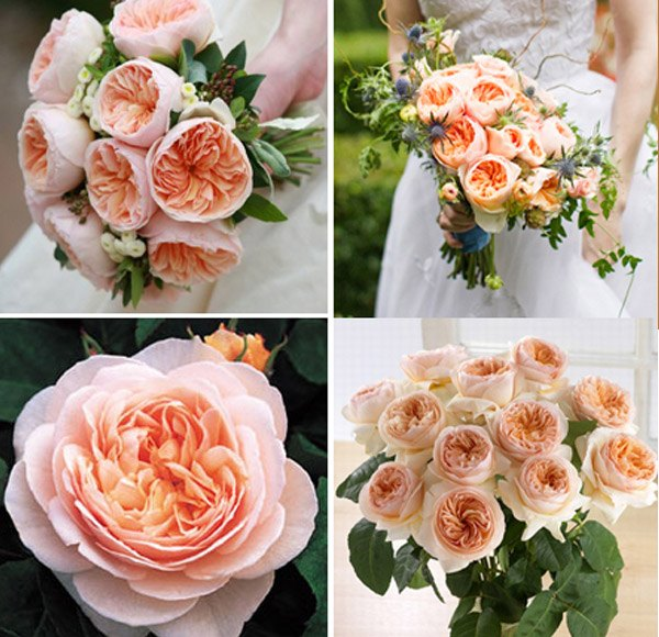 La flor que Romeo regaló a Julieta juliet_roses_11_600x580