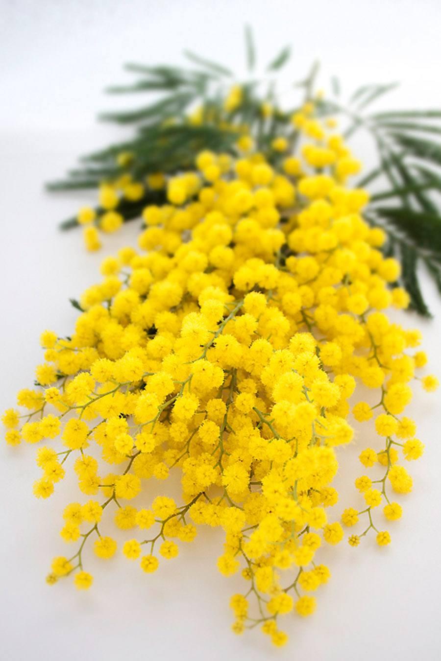 RAMOS DE NOVIA DE MIMOSAS mimosas-ramo-novia